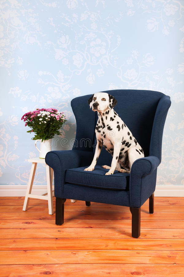Dalmatian dog in living room. Pure breed Dalmatian dog on chair in living room stock image