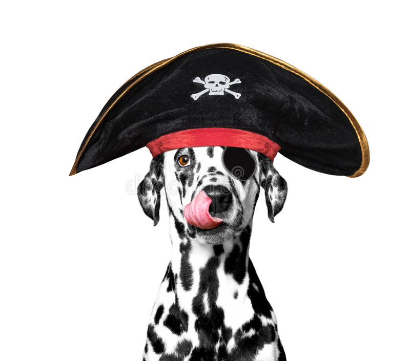 Dalmatian dog in a pirate costume. Isolated on white stock photography