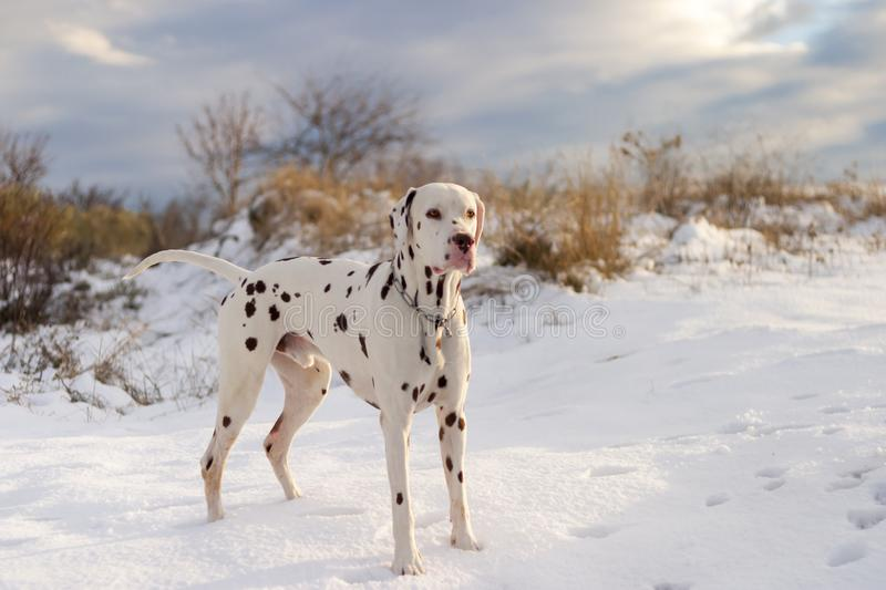 Dalmatian dog posing in the snow at sunset. Dalmatian dog posing at sunset on a cloudy day in a snowy field stock photo