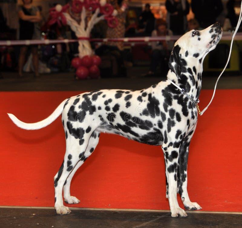 Download Dalmatian dog ring stock image. Image of mammal, pedigree - 39513437
