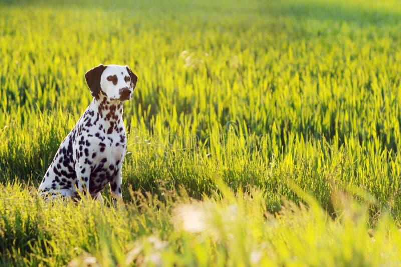Dalmatian dog sitting in meadow. Dalmatian dog sitting in summer meadow stock photo