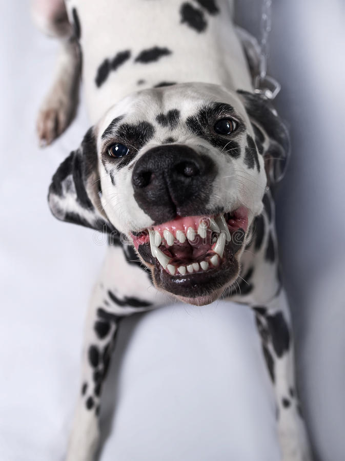 Dalmatian dog tied. To a chain throws himself grinning at the camera close-up royalty free stock photo