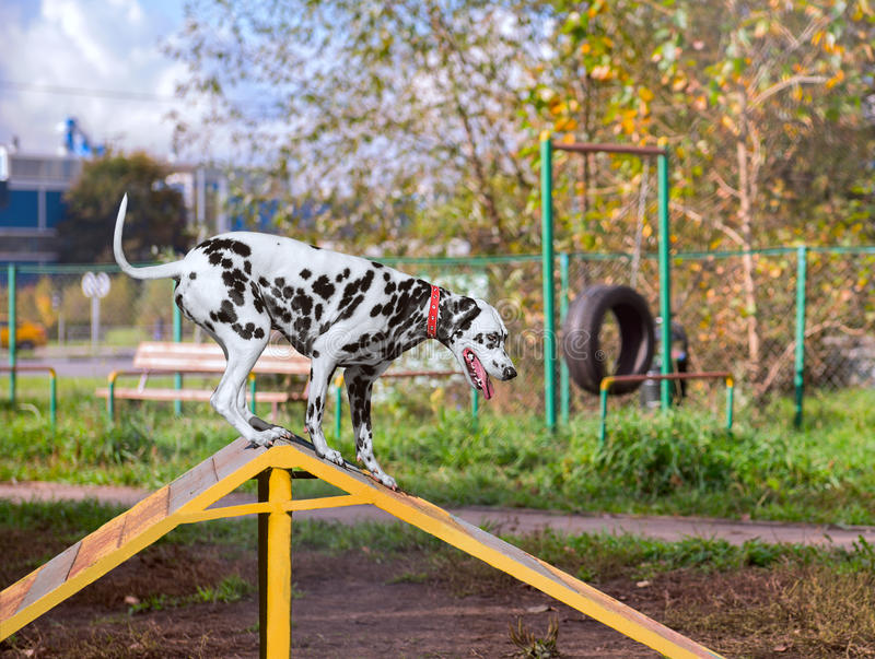 Dalmatian dog is trained on the playground royalty free stock photo