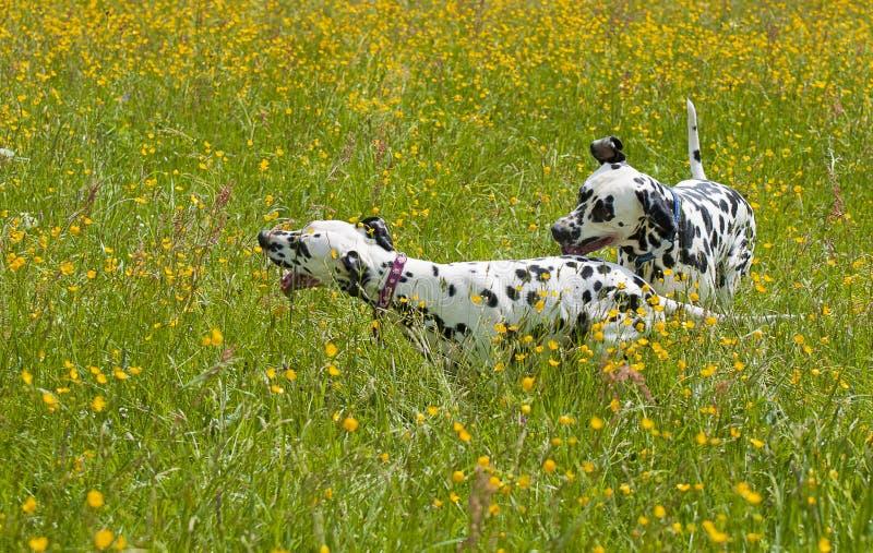 Dalmatian dogs royalty free stock photos