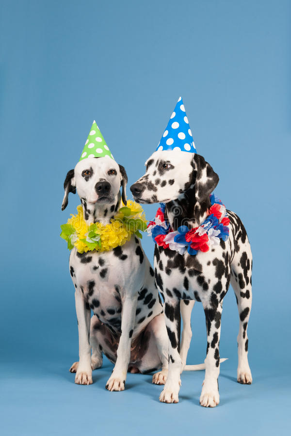 Dalmatian dogs as birthday animals on blue background. Portrait pure breed Dalmatian dogs with birthday hat and chains in studio on blue background stock photo