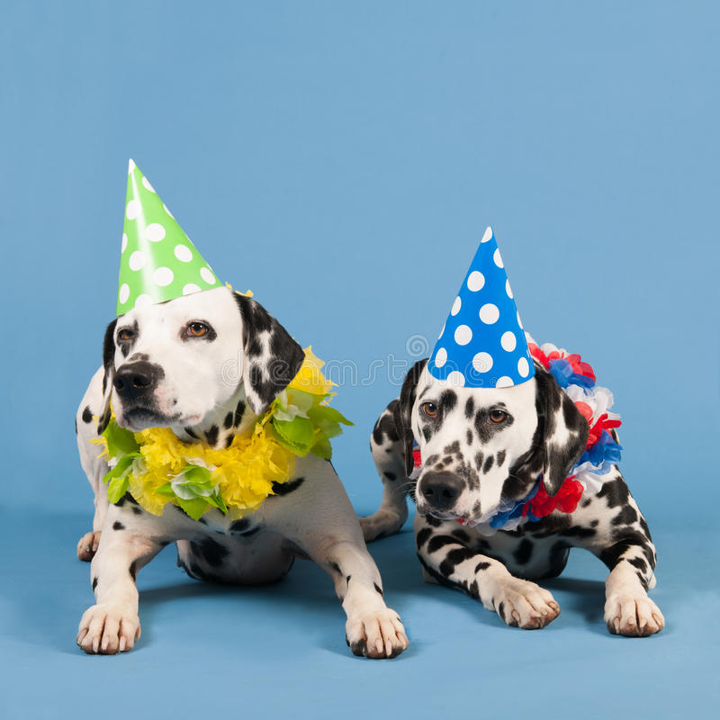 Dalmatian dogs as birthday animals on blue background. Portrait pure breed Dalmatian dogs with birthday hat and chains in studio on blue background stock photos