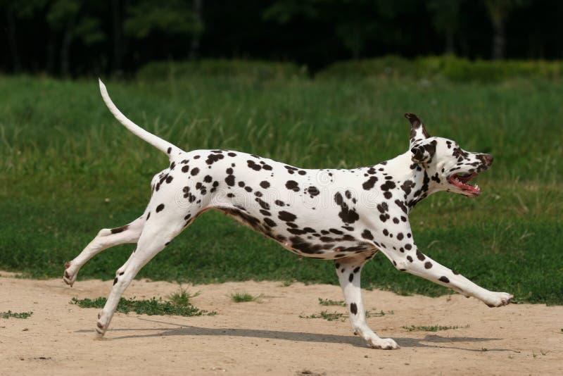 Dalmatian in erba fotografie stock libere da diritti