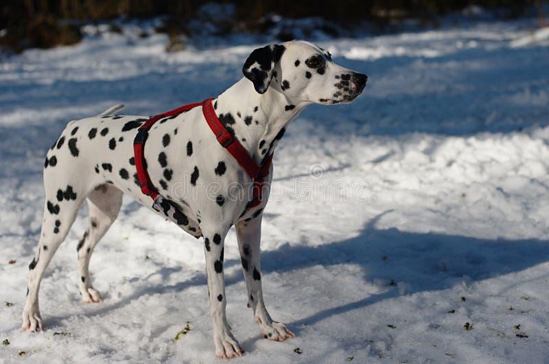 dalmatian hund arkivfoto