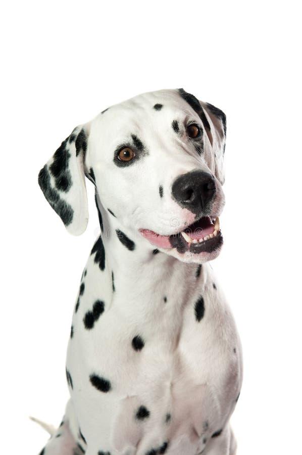 Dalmatian hund