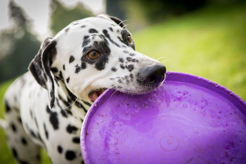 dalmatian hund arkivfoton