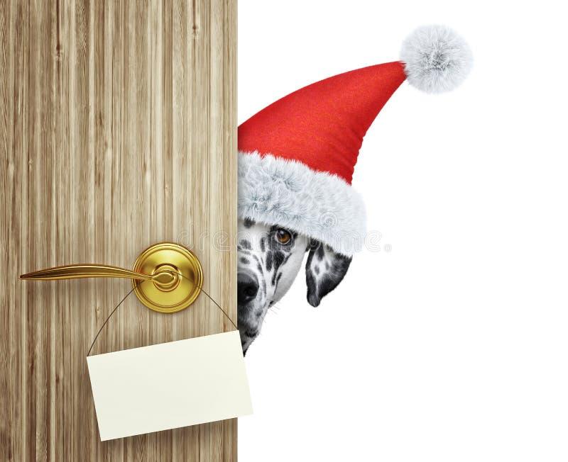 Dalmatian hund i den röda julSanta Claus hatten som ut hemma ser dörringången med det tomma kortet Isolerat på vit royaltyfria bilder