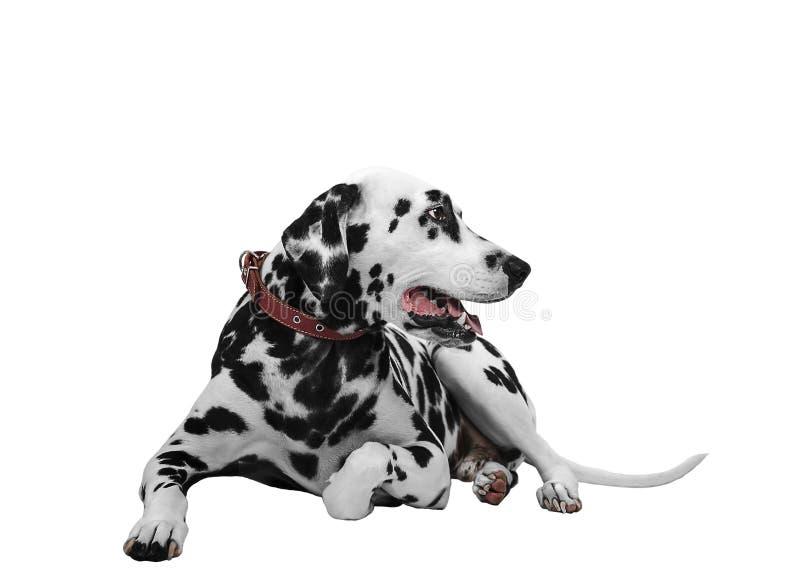 Dalmatian hund som från sidan ligger och ser royaltyfri foto