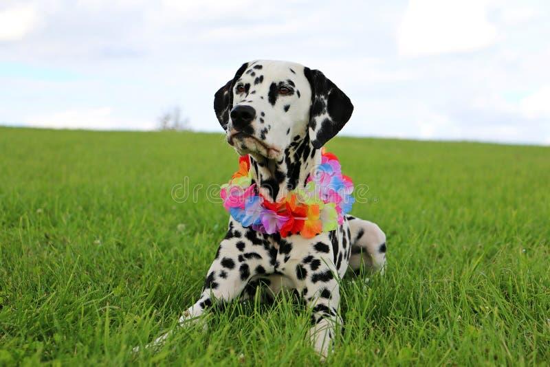 Dalmatian hundstående i trädgården royaltyfri bild