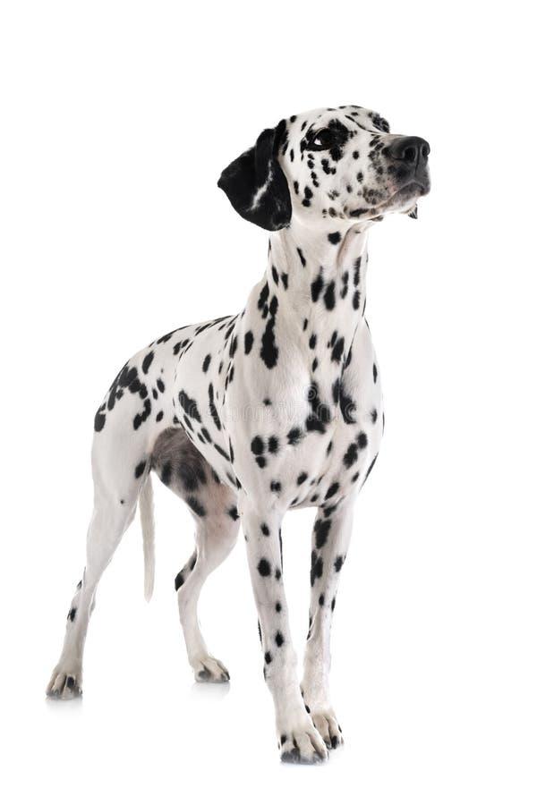 Dalmatian i studio royaltyfri fotografi