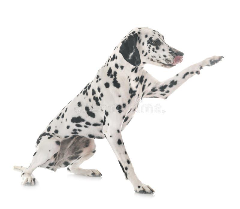 Dalmatian i studio royaltyfri foto