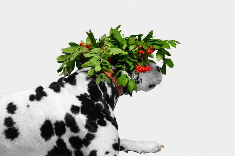 Dalmatian jaga för hund som är förklätt arkivfoton