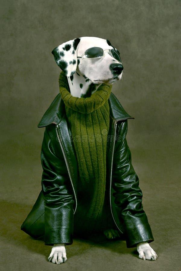 Dalmatian met binnen verhaal royalty-vrije stock fotografie