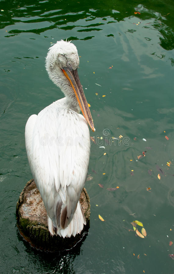 Dalmatian Pelican. A portrait of white dalmatian pelican resting on a broken pillar against a flowing water. Dalmatian pelican is one of the species which the royalty free stock photo