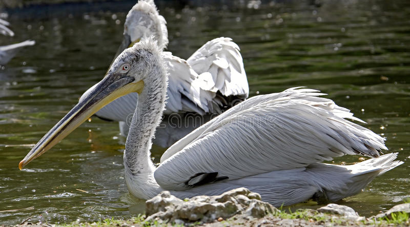 Download Dalmatian Pelican 6 Royalty Free Stock Image - Image: 14674806