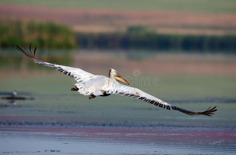 Dalmatian Pelican in flight stock image