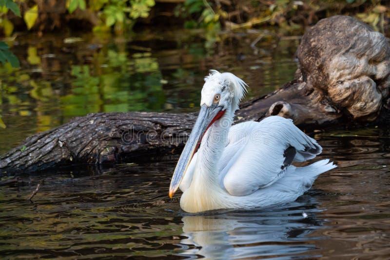 Dalmatian pelican floating on water. Pelecanus crispus royalty free stock photos