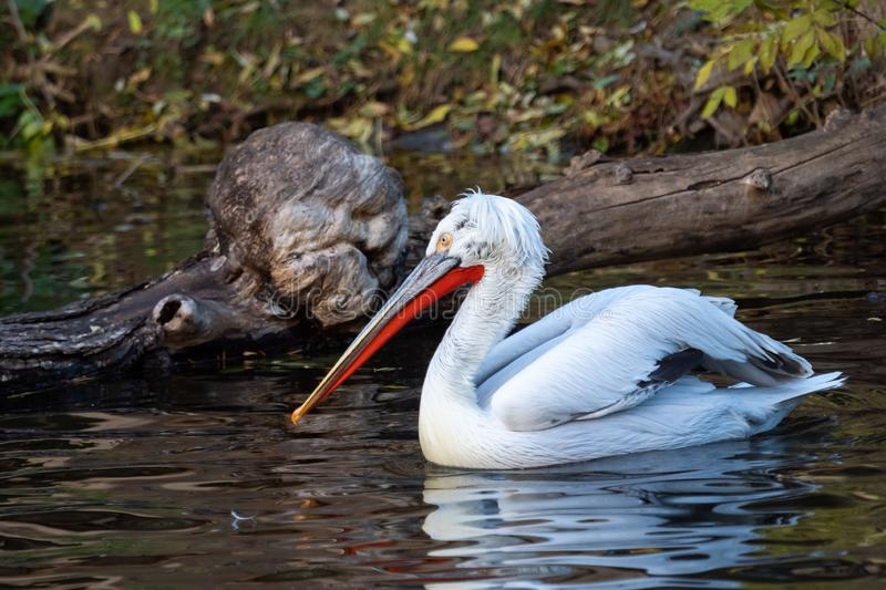 Dalmatian pelican floating on water. Pelecanus crispus royalty free stock photo