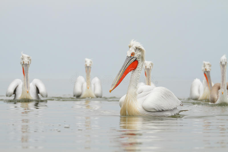 Download Dalmatian Pelican stock image. Image of water, wildlife - 33435965