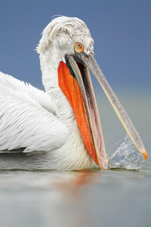 Download Dalmatian Pelican stock photo. Image of flight, animal - 33436970
