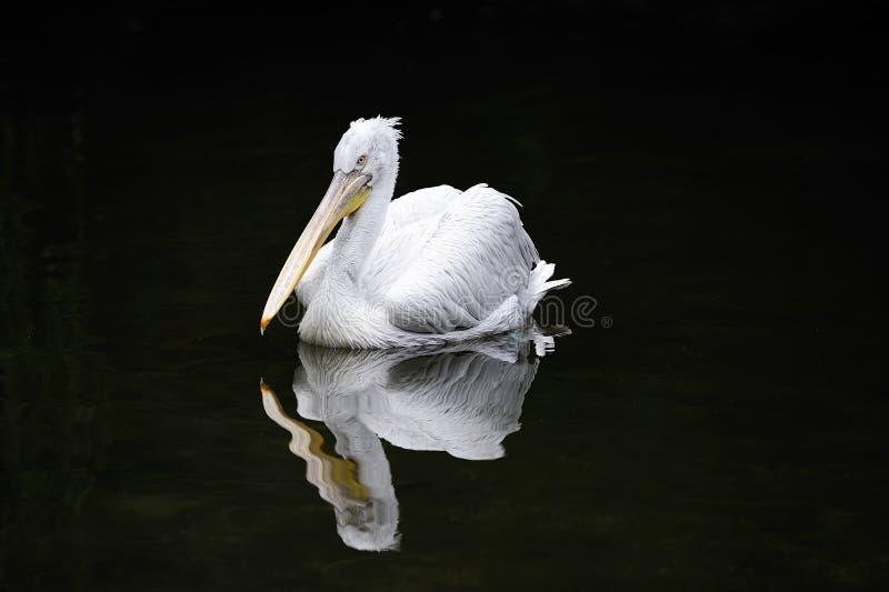 Download Dalmatian Pelican (Pelecanus Crispus) Stock Photo - Image: 11384154