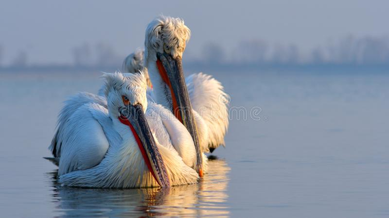 Dalmatian Pelican & x28;Pelecanus crispus& x29;. On Water, in Winter, in Breeding Plumage royalty free stock image