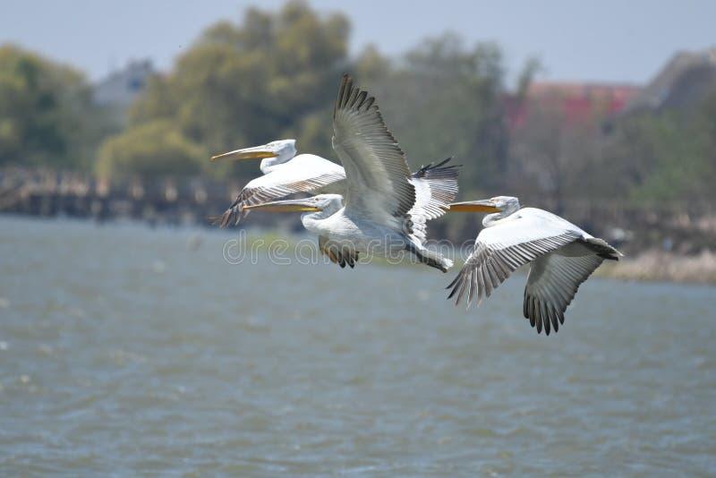 Dalmatian pelicans Pelecanus crispus royalty free stock images