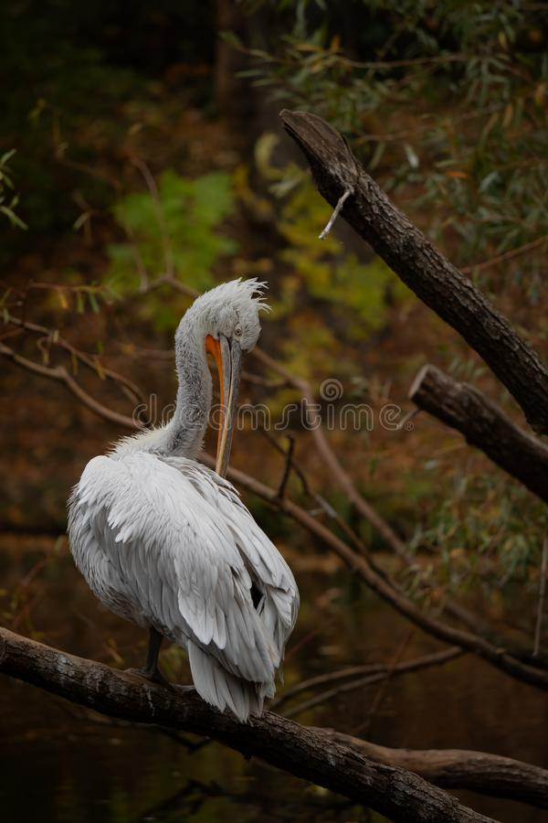 Dalmatian pelican, bird, waterbird, water stock photos