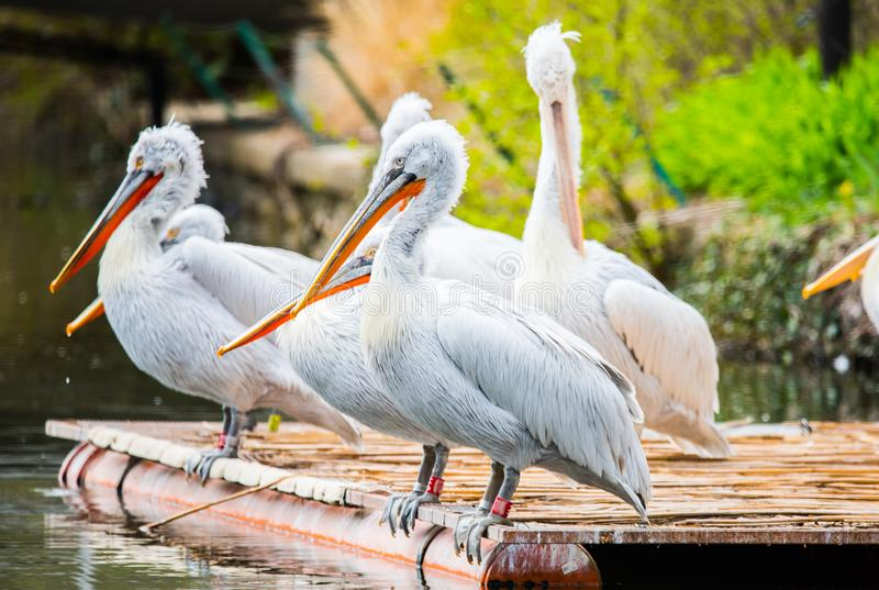 White Dalmatian pelicans. The Dalmatian pelican, Pelecanus crispus, is the most massive member of the pelican family. Their curly nape feathers, grey legs and royalty free stock images