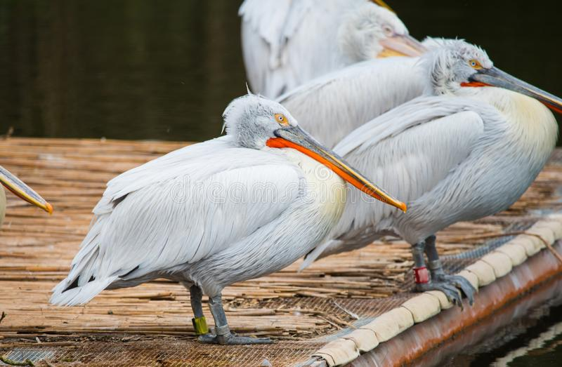 White Dalmatian pelicans. The Dalmatian pelican, Pelecanus crispus, is the most massive member of the pelican family. Their curly nape feathers, grey legs and stock photo