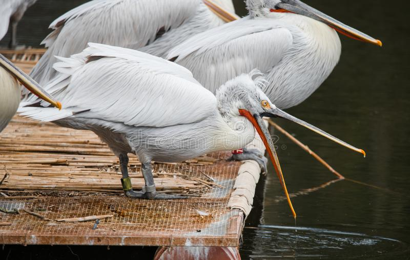 White Dalmatian pelicans. The Dalmatian pelican, Pelecanus crispus, is the most massive member of the pelican family. Their curly nape feathers, grey legs and stock image