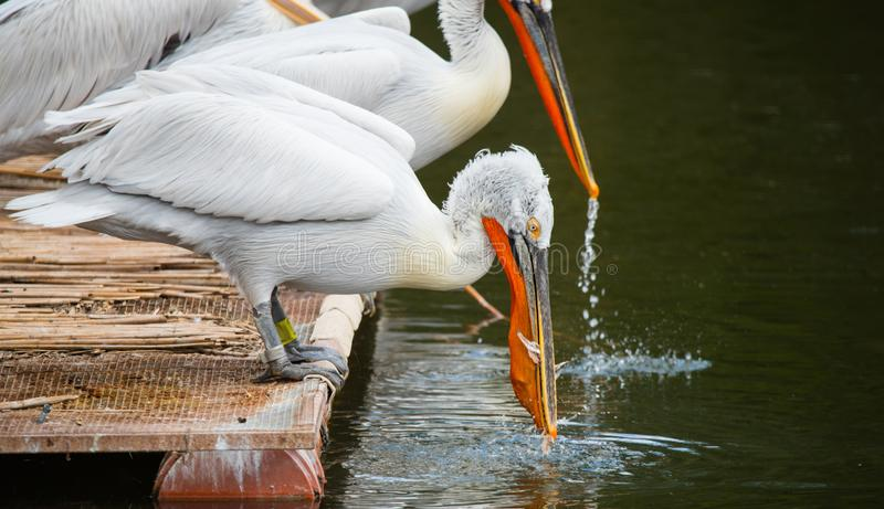 White Dalmatian pelicans. The Dalmatian pelican, Pelecanus crispus, is the most massive member of the pelican family. Their curly nape feathers, grey legs and stock photography
