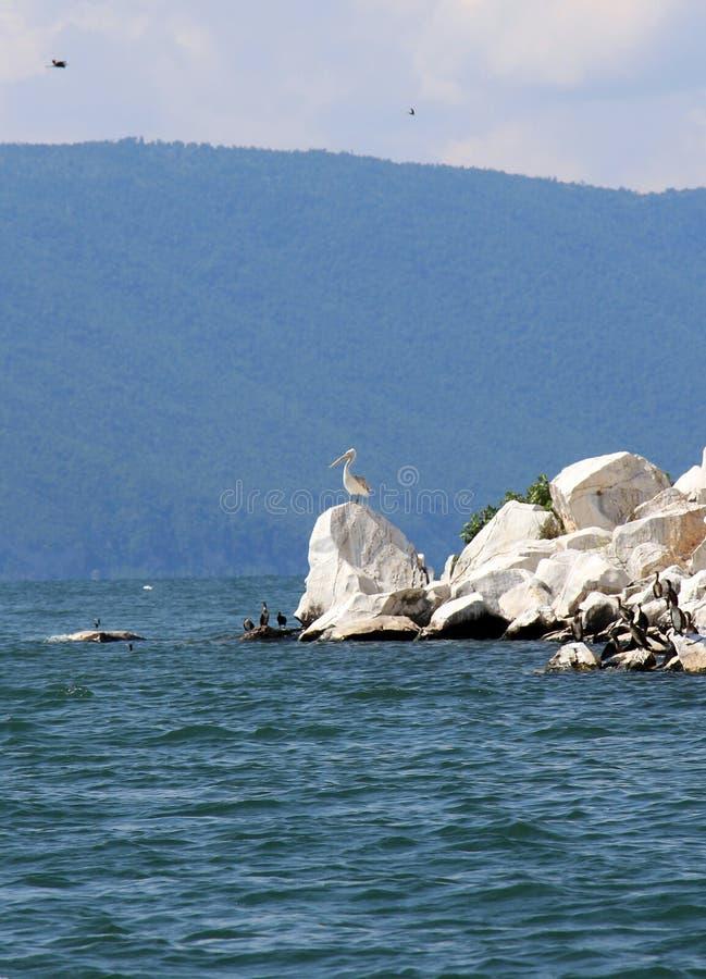 Dalmatian Pelican,Pelecanus crispus resting on a rock. Picture of a Dalmatian Pelican,Pelecanus crispus resting on a rock on lake prespa royalty free stock photos