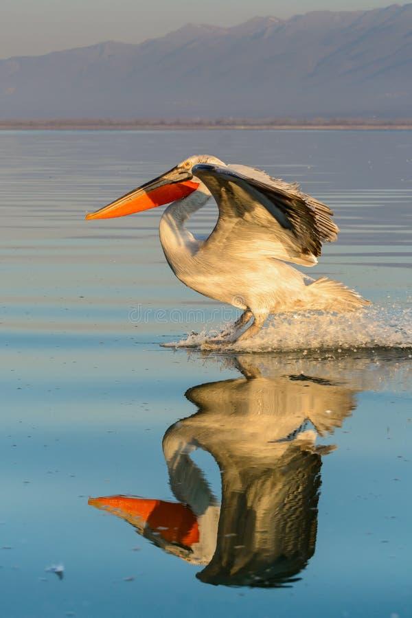 Dalmatian pelican Pelecanus crispus stock photos