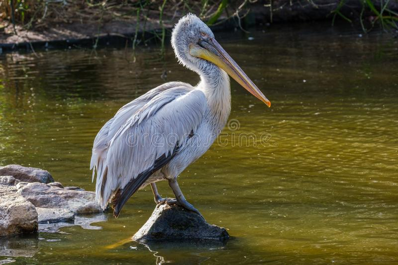 Dalmatian Pelican on a rock in a pond in beautiful light. Dalmatian Pelican in beautiful morning light in a pond in the Rotterdam Zoo royalty free stock photo