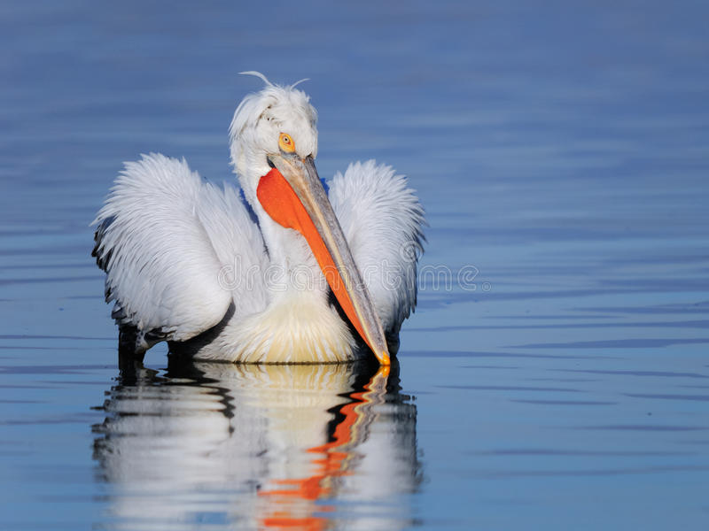 Download Dalmatian pelican swimming stock image. Image of feathers - 36988183