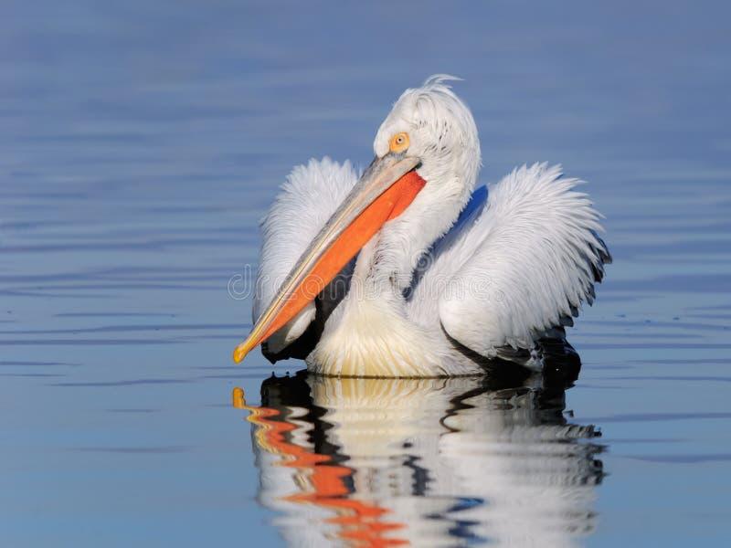 Download Dalmatian Pelican On The Water Portrait Stock Image - Image of bird, display: 36988157
