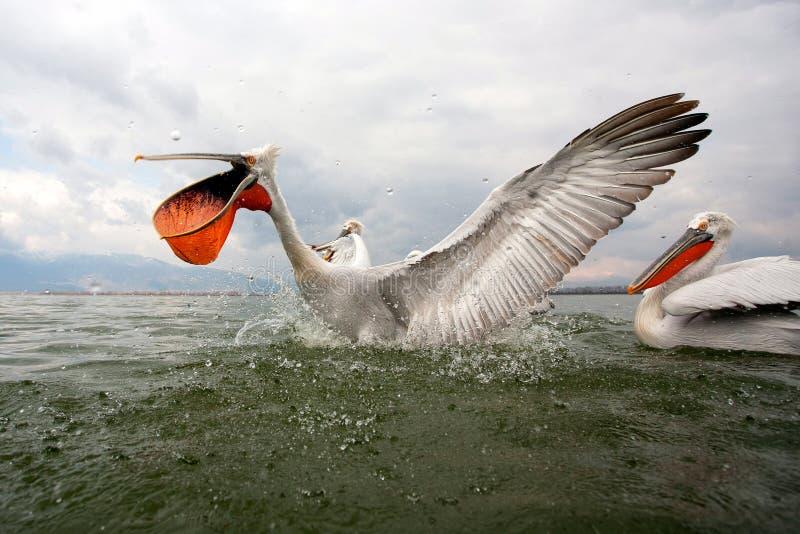 Dalmatian pelicans royalty free stock photography