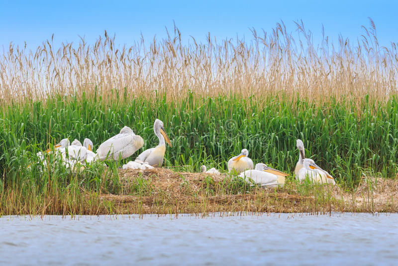 Dalmatian pelicans pelecanus crispus royalty free stock photos