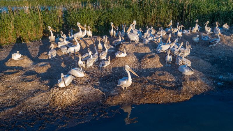 Dalmatian pelicans pelecanus crispus in Danube Delta Romania royalty free stock image