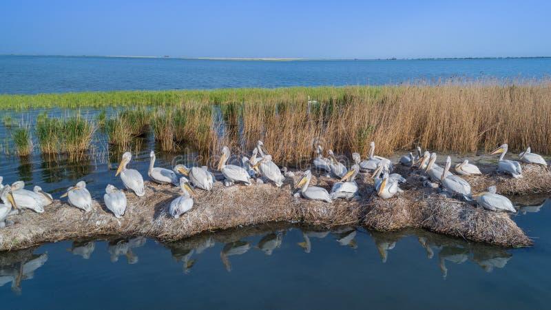 Dalmatian pelicans pelecanus crispus in Danube Delta Romania stock image