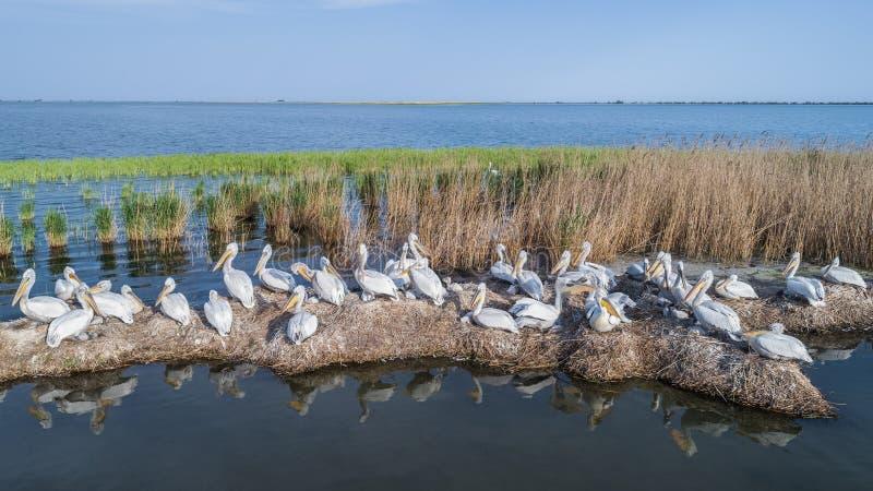 Dalmatian pelicans pelecanus crispus in Danube Delta Romania royalty free stock photo