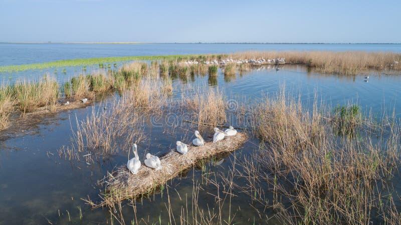 Dalmatian pelicans pelecanus crispus in Danube Delta Romania stock photo
