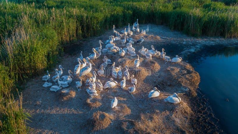 Dalmatian pelicans pelecanus crispus in Danube Delta Romania stock images
