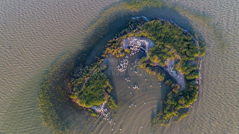 Dalmatian pelicans pelecanus crispus in Danube Delta Romania. stock photo
