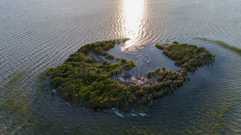 Dalmatian pelicans & x28;pelecanus crispus& x29; in Danube Delta Romania. royalty free stock image